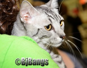 The Egyptian Mau is extremely active and agile.
