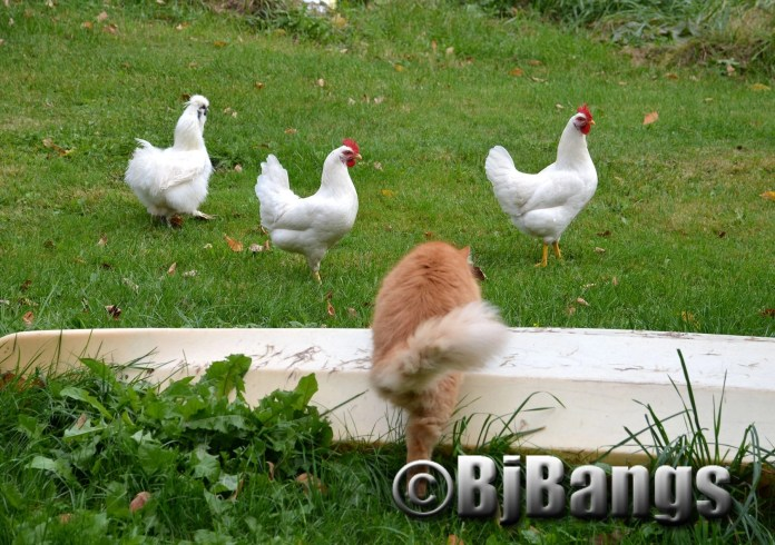 Kitty is not sure what to think about these chickens in his backyard.