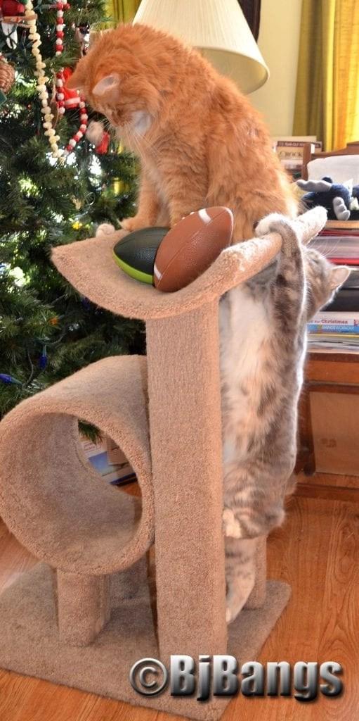 Kitties entertain their humans with a kitty sized football.