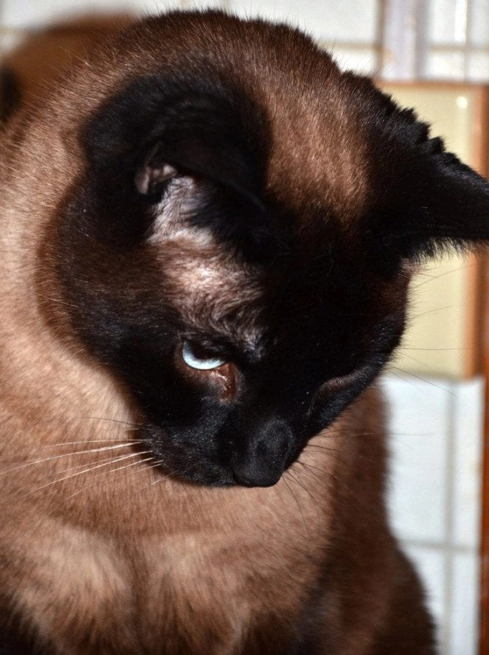 This Siamese Cat is the epitome of true love.