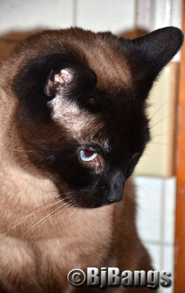 Can't tell you how much of a love this Siamese Cat is.