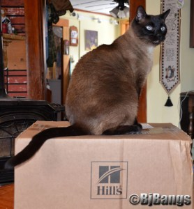 Siamese Cat Linus guards over the Hill's swag that just arrived