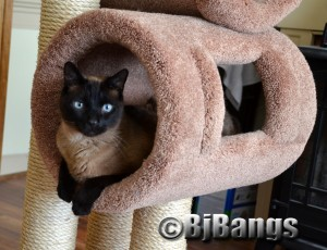 Siamese Cat Linus is lots better than having kids