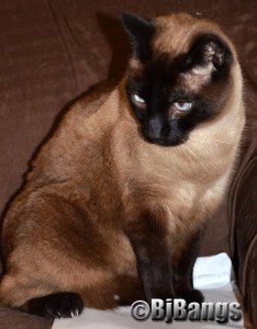Siamese cats are a very popular breed, but they are not for everyone.