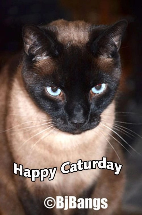 Happy Caturday from Siamese Kitty