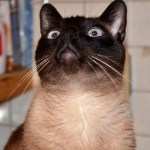 Siamese Cat Talks about why he's so special
