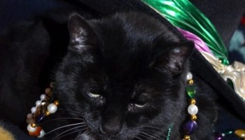 Cat gets ready to celebrate Mardi Gras, one of the Many 2021 Pet (Mostly Cat) Holidays.