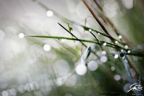 grässtrå med vattendroppar