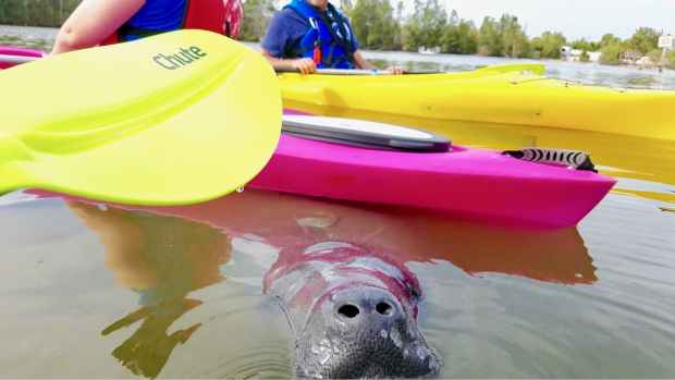 A Florida Manatee surfaces for a breath of air underneath kayaks in Merritt Island, Florida.