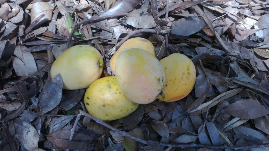 the mangoes we picked up off the ground today in puerto rico
