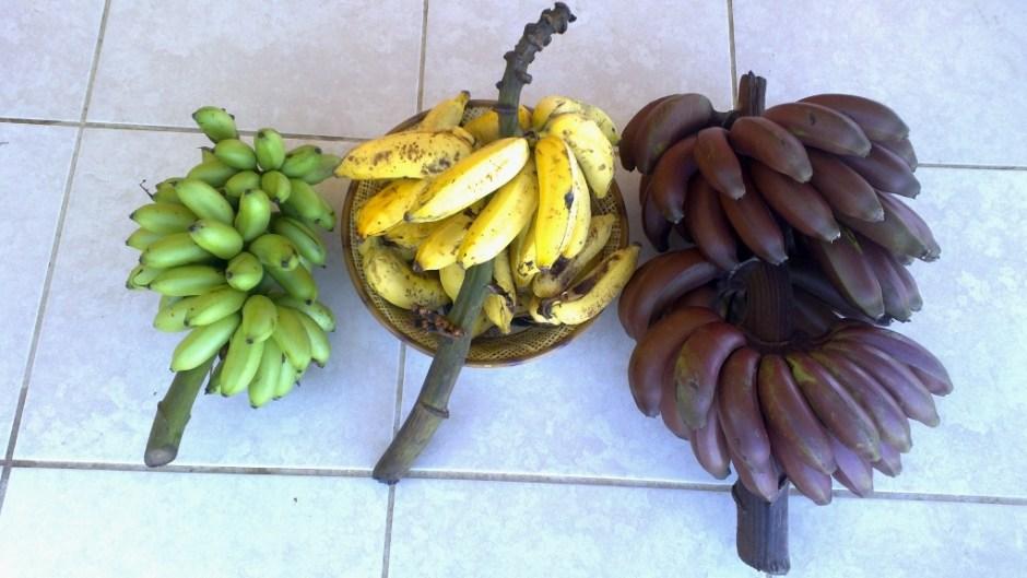 baby, apple, and red bananas - avocados bananas puerto rico