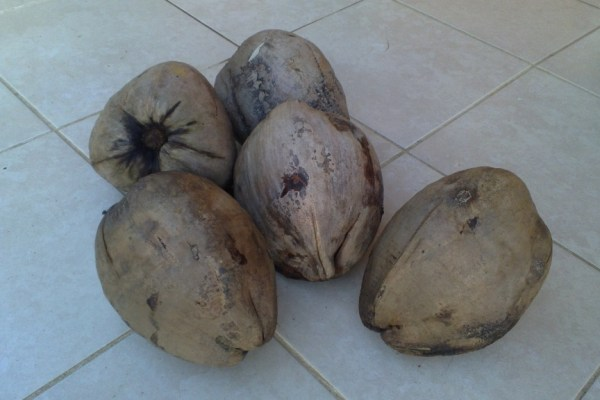 five mature coconuts with husks still on