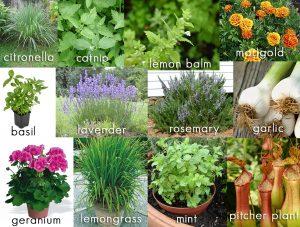 10 Amazing Mosquito Repellent Plants