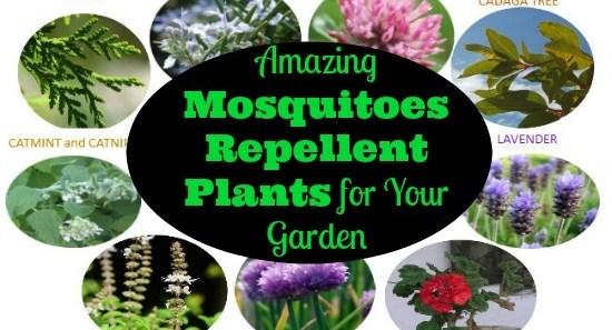 Amazing Mosquitoes Repellent Plants