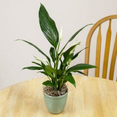 7 Best Air Cleaning Plants for Home Garden & Indoor Air Purification