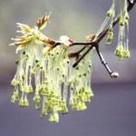 spring tree buds-inBloom-0070