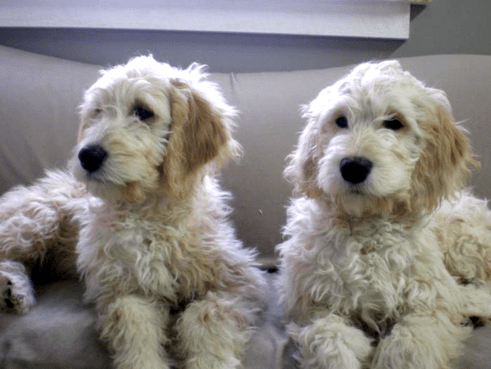 ... & Dogs for Sale in Michigan (F1) | Black Mountain Goldendoodles