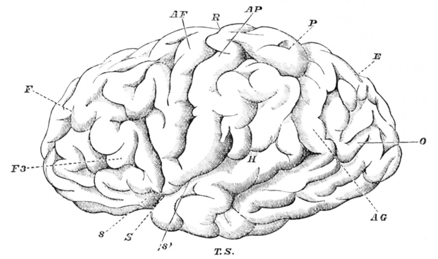 PSM_V27_D079_Fissures_and_convolutions_of_the_human_brain_large_verge_medium_landscape