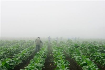 Farm workers make their way across a field shrouded in fog as they hoe weeds from a burley tobacco crop near Warsaw, Ky., early in this Thursday, July 10, 2008 file photo. You may have to be at least 18 to buy cigarettes in the U.S., but children as young as 7 are working long hours in fields harvesting nicotine- and pesticide-laced tobacco leaves under sometimes hazardous and sweltering conditions, according to a report released Wednesday May 14, 2014 by  Human Rights Watch. (AP Photo/Ed Reinke, File)