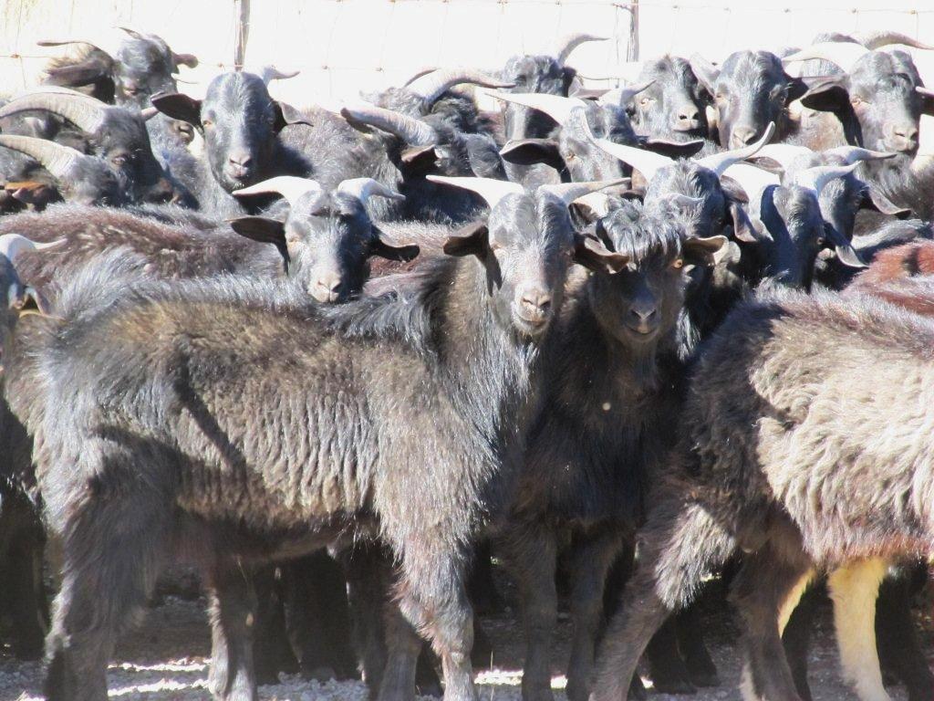 Three Mill Ranch  Mountain Home Texas Black Spanish Goats
