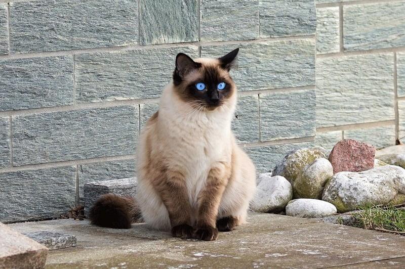 kucing siam bermata biru