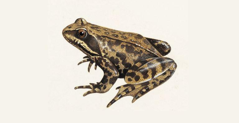 katak dengan kulit lembab dan licin