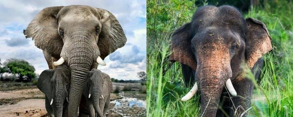 kepala gajah afrika dan gajah asia