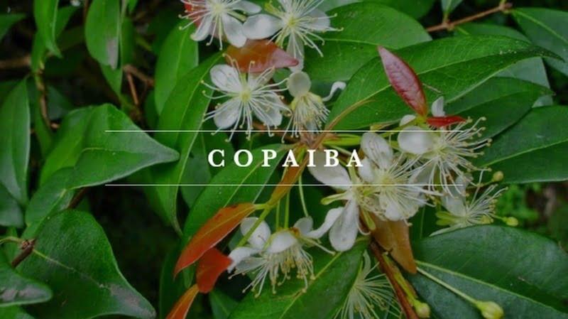 pohon copaiba untuk bahan baku copaiba essential oil