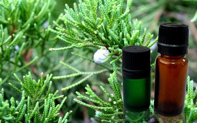 pohon sanobar dan cypress essential oil