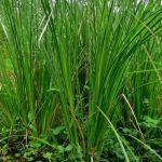 tumbuhan akar wangi untuk bahan baku vetiver essential oil
