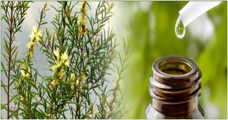 daun tea tree untuk bahan baku tea tree essential oil