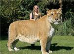 16 Fakta Liger: Hewan Hasil Persilangan Singa dengan Harimau