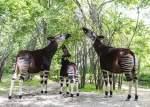 10 Fakta Menarik tentang Okapi, Hewan Unik dari Afrika