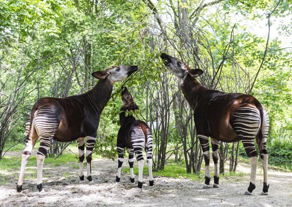 tiga ekor okapi sedang makan daun pohon