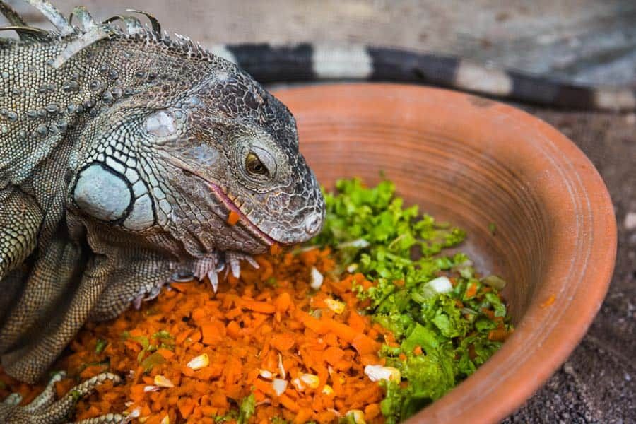 iguana sedang makan sayuran