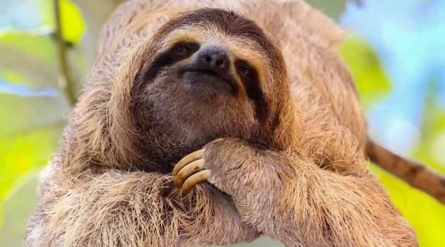 sloth (kungkang) sedang berada diatas pohon