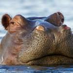 kepala kuda nil menyembul dari dalam air