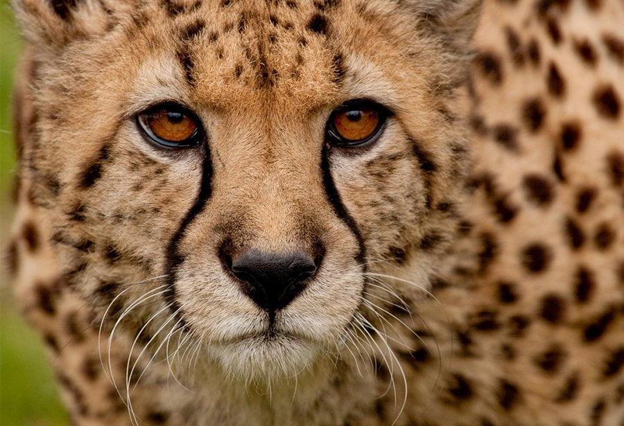 garis air mata pada mata cheetah