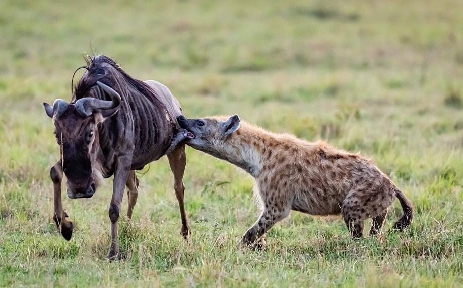 hyena berburu wildebeest