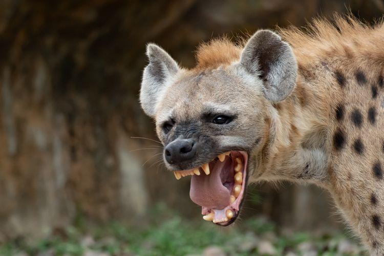 hyena menyeringai