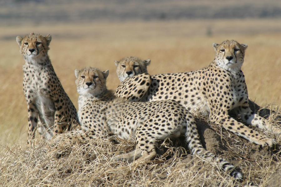 empat ekor kawanan cheetah