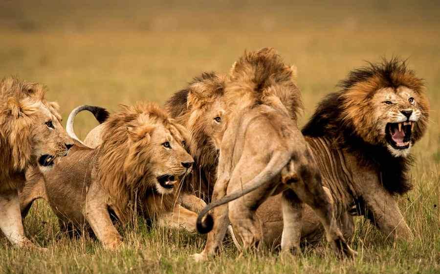 kawanan singa di padang rumput