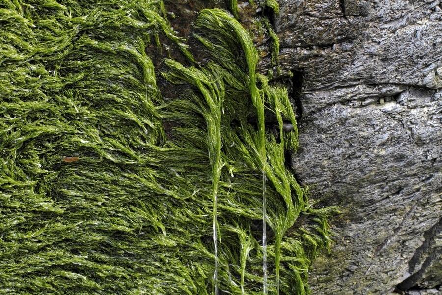 green spirogyra