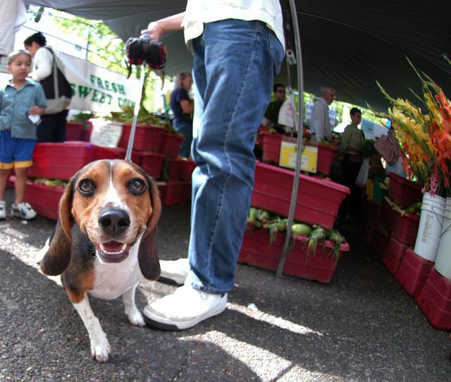 Beagle at Market