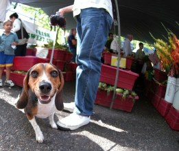 Beagle at Market
