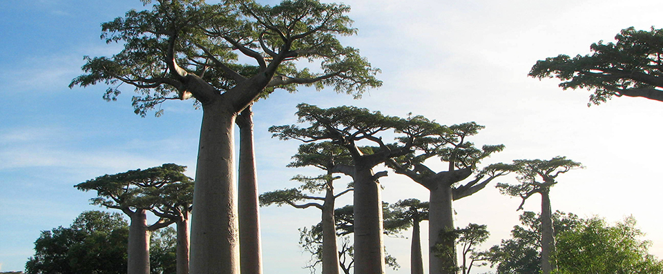 Baobab Trees in Africa