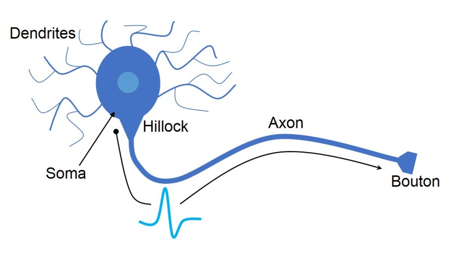 Neuron Anatomy