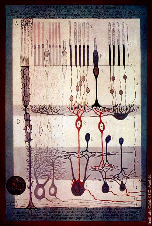 S. Ramón y Cajal, Structure of the Mammalian Retina, 1900