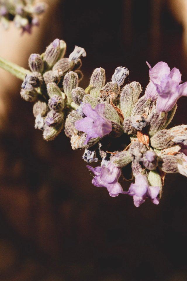 Lavanda en flor
