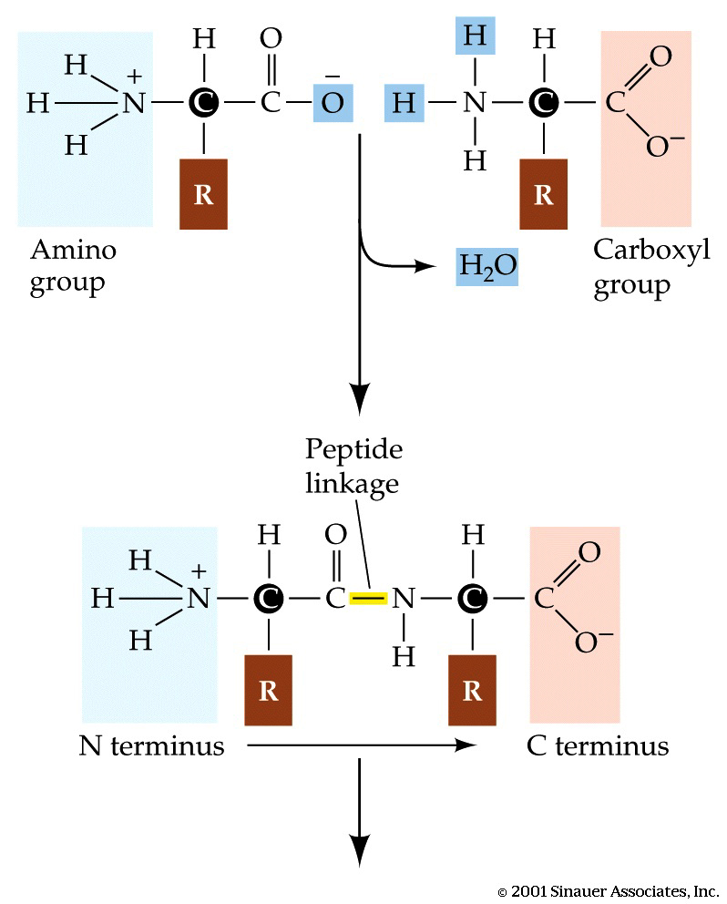 hight resolution of  from another amino acid join together to form a water molecule reactions like this are called condensation reactions this diagram shows how it works